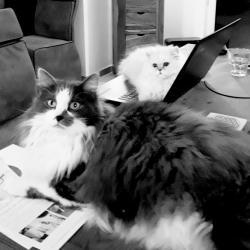 Gandalf et Aragorn, chats d'Isabelle Nell